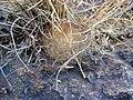 Mammillaria guelzowiana (5729307007).jpg