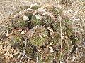 Mammillaria polyedra (5741815899).jpg
