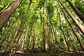 Man made mahogny forest bohol.jpg