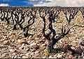 Manduel, terroir du vignoble des costières de Nîmes.JPG