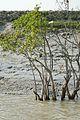 Mangroves - Riverbank Ichamati - Taki - North 24 Parganas 2015-01-13 4462.JPG
