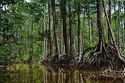 Mangroves in Puerto Princesa City.jpg