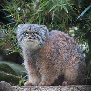 Pallas's cat - Manul at Rotterdam Zoo