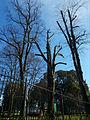 Manor Park, Sutton, Surrey, Greater London trees.jpg