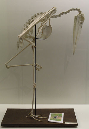 Marabou stork - Image: Marabou Stork (Leptoptilos crumeniferus) skeleton at the Royal Veterinary College anatomy museum