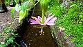 Maracuja banana flower (Levada do Rei) (24244466988).jpg