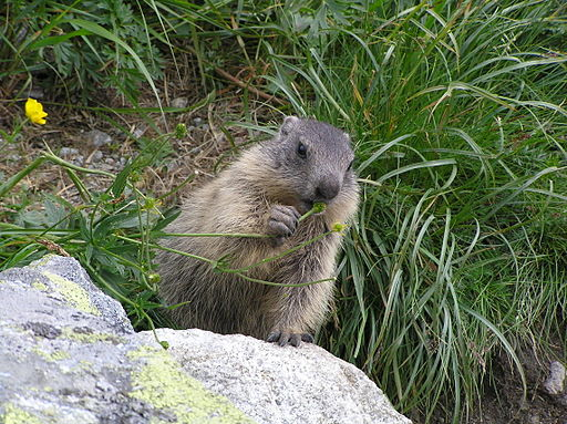 Marmot young1