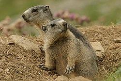 Les aventures de Djamel 250px-Marmotte_des_Pyrénées