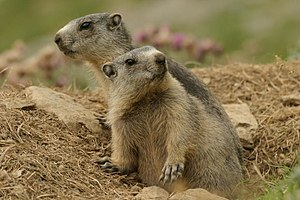 Alpine marmot - Introduced alpine marmots in the Pyrenees