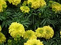 Marygold from Lalbagh flower show Aug 2013 8421.JPG