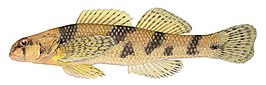 Maryland Darter - Dave Neely (illustration).jpg