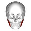 Masseter muscle - anterior view.png