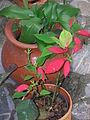 Matera con poinsettia (flor de Nochebuena).jpg