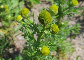 Strahlenlose Kamille (Matricaria discoidea)
