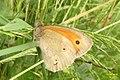 Meadow brown (NH) (14482952979).jpg