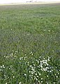 Meadow of wild flowers - geograph.org.uk - 1086406.jpg