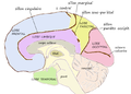 Medial lobes.png