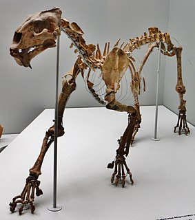 <i>Megantereon</i> Extinct genus of saber-toothed cat from North America, Eurasia and Africa