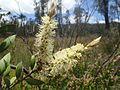 Melaleuca pallida leaves and flowers.jpg