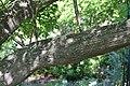 Melia azedarach in Jardin botanique de la Charme 02.jpg