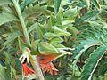Melianthus comosus, bloeiwyse, Merops.jpg