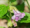 Melittis melissophyllum in Aveyron (4).jpg