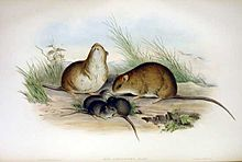 Melomys cervinipes.jpg