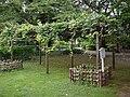 Mendel's grape in the Botanical Gardens, the University of Tokyo.jpg