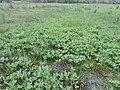 Menyanthes trifoliata kz12.jpg