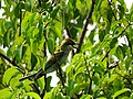Merops philippinus, Blue tailed bee eater 2.jpg