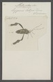 Metopodus - Print - Iconographia Zoologica - Special Collections University of Amsterdam - UBAINV0274 040 04 0011.tif
