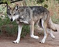 Mexican Wolf (15344102138).jpg