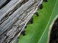 Microbotryum marginale Bistorta officinalis JuliaKruse 4.jpg