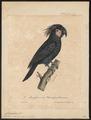 Microglossum aterrimum - 1825-1834 - Print - Iconographia Zoologica - Special Collections University of Amsterdam - UBA01 IZ18600033.tif