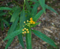 Milkweed Asclepias curassavica 'Silky Gold' Leaves 2300px.jpg