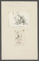 Millepora informis - - Print - Iconographia Zoologica - Special Collections University of Amsterdam - UBAINV0274 111 07 0026.tif
