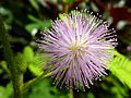 Mimosa Pudica (7826520174) (2).jpg