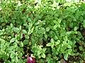 Mint garden.JPG