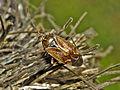 Miridae - Lygus wagneri.jpg