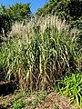 Miscanthus floridulus - J. C. Raulston Arboretum - DSC06206.JPG