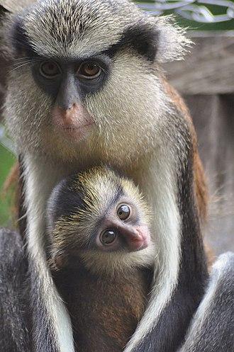 Mona monkey - Image: Mona monkey and baby