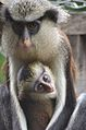 Mona monkey and baby.jpg