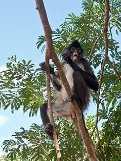 Yucatan spider monkey subspecies of mammal