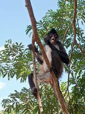 Mono ara%C3%B1a - Quintana Roo - M%C3%A9xico-2