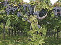 Montepulciano grapes growing in Abruzzi.jpg