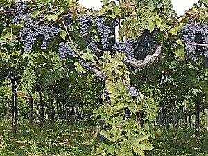 Abruzzo (wine) - Montepulciano grapes in Abruzzo