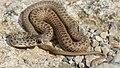 Montpellier Snake (Malpolon monspessulanus) juvenile male (Found by Jean Nicolas) (30575961848).jpg