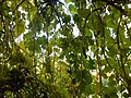 Morus nigra (17).jpg