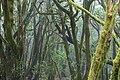 Mossy trees in the Garajonay National Park on La Gomera, Spain (48293708696).jpg