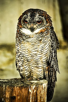 Mottled Wood Owl.jpg